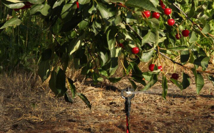 Thiet-bi-tuoi-nong-nghiep-Nelson-R10_Rotator_in_cherries