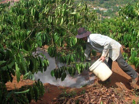 tủ gốc giữ ẩm cho cây cà phê