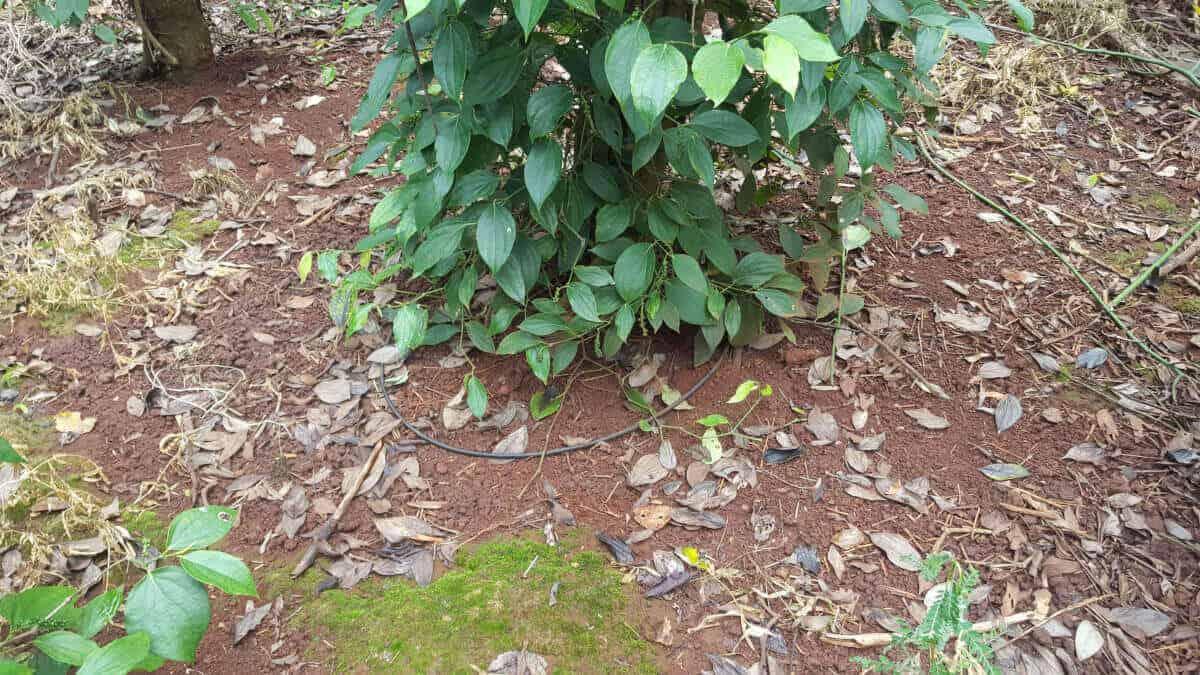 tưới nhỏ giọt cuốn quanh gốc cho cây hồ tiêu