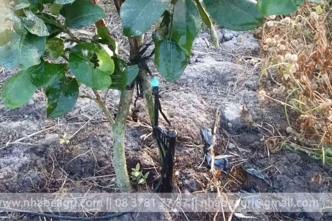 Tưới phun mưa cho cây bưởi và các cây có múi
