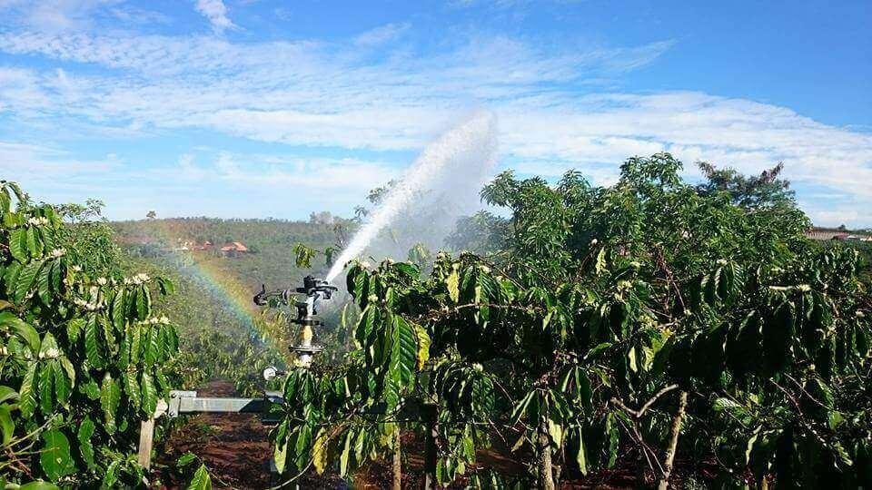 Tưới phun mưa cho vườn cà phê
