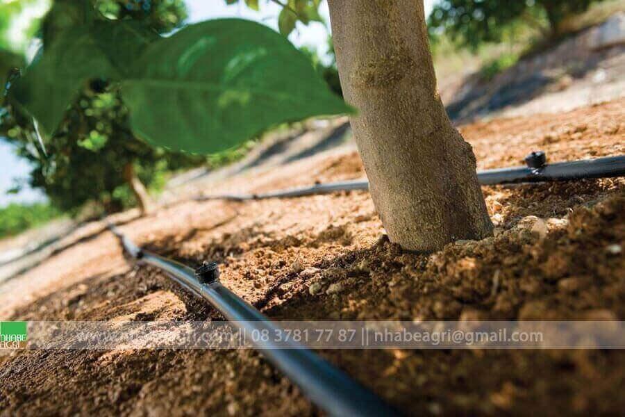 Tưới nhỏ giọt cho cây ăn trái tán rộng