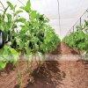 tưới nhỏ giọt cho cây cà tím