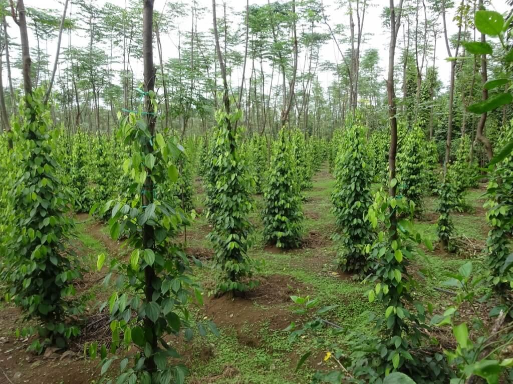 Hướng dẫn trồng và chăm sóc hồ tiêu ph