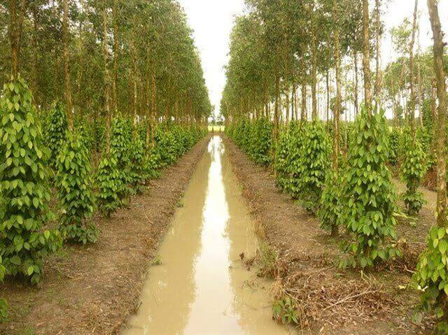 Hướng dẫn trồng và chăm sóc hồ tiêu phần 2 chuẩn bị đất trồng, cách trồng cây