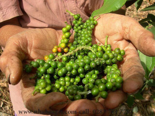 Triển vọng xuất khẩu và sự dẫn đầu sân chơi của hồ tiêu Việt Nam