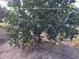 Tưới nhỏ giọt cuống quanh gốc cho cây cam ở Nghệ An