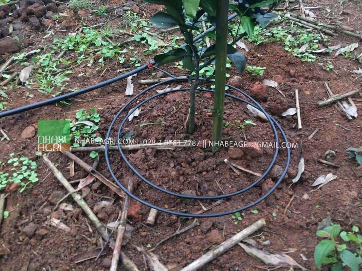 Áp dụng hình thức tưới nhỏ giọt quanh gốc cho cây Cam tại Nghệ An