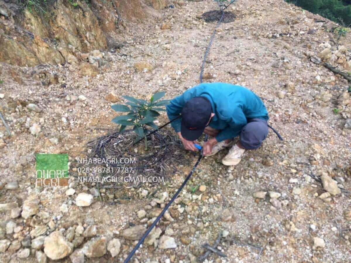 Người dân Nghệ An đang lắp đặt hệ thống tưới nhỏ giọt cho vườn Cam