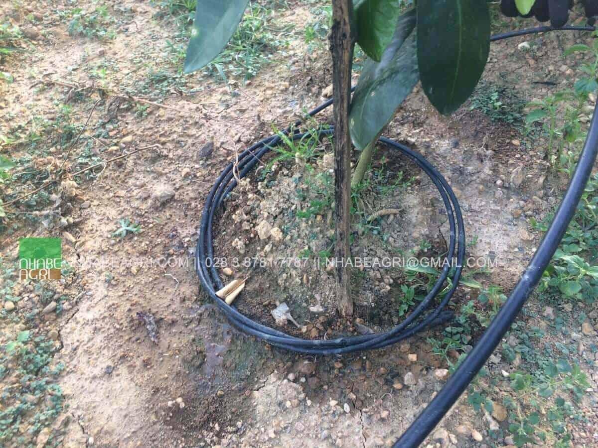 Tưới nhỏ giọt cuốn quanh gốc cho cây trồng