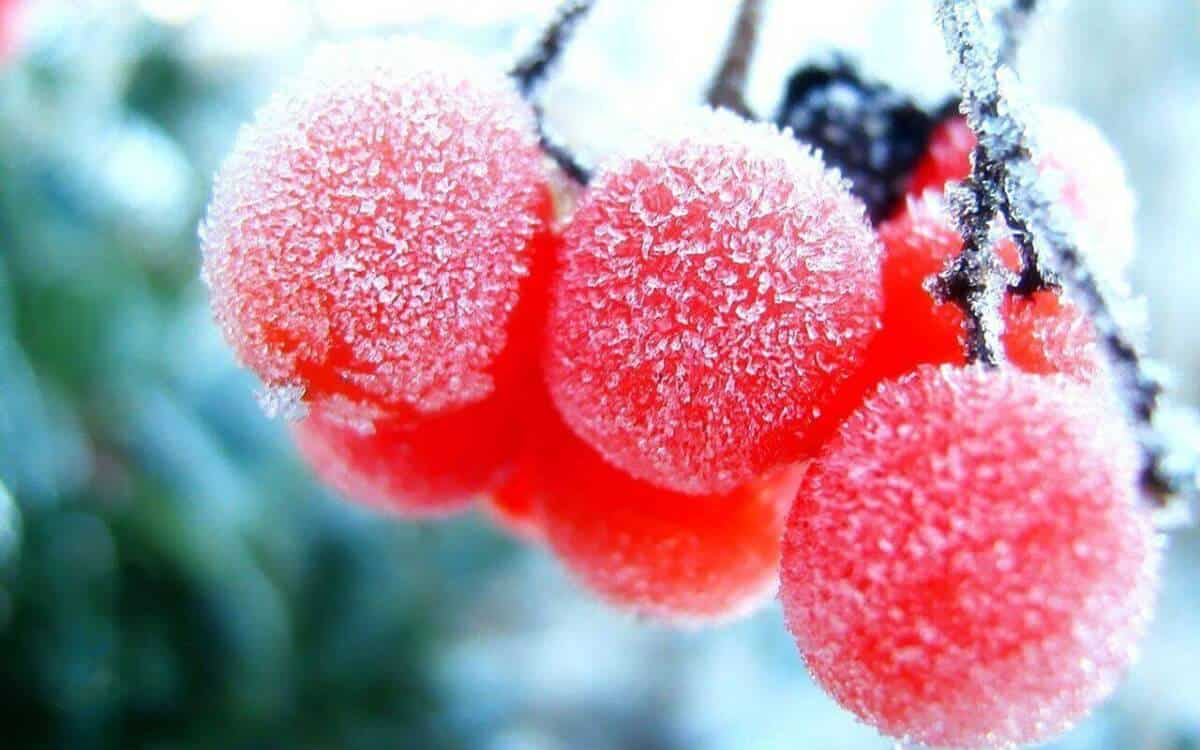 Hiện tượng sương muối trên cây trồng.