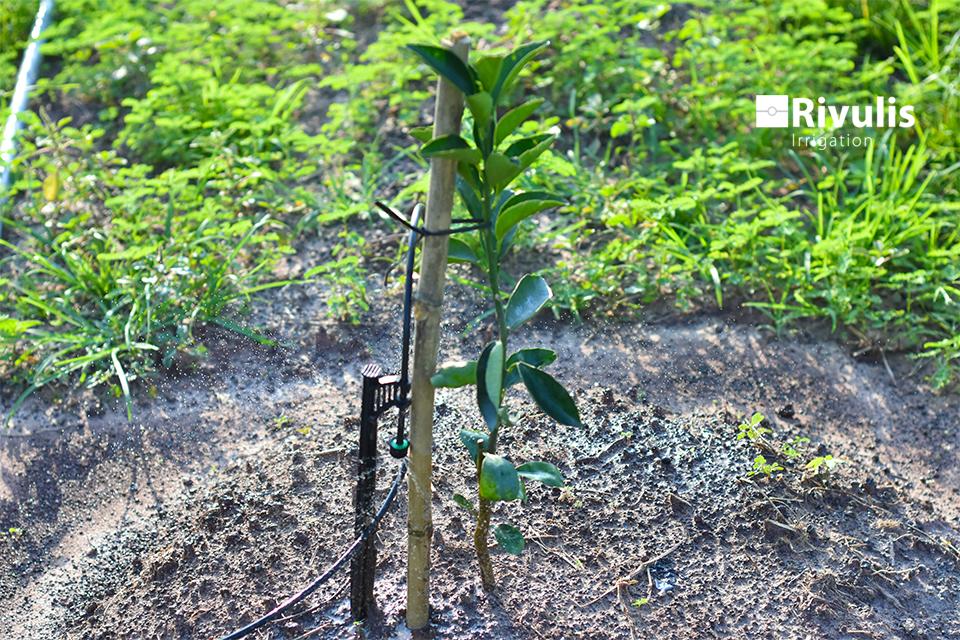 Kỹ-thuật-trồng-và-chăm-sóc-cây-cam
