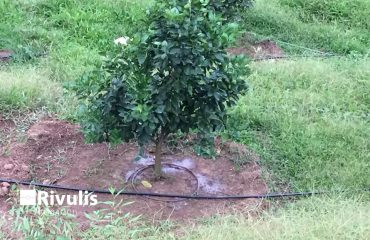 Tưới nhỏ giọt cho cây cam