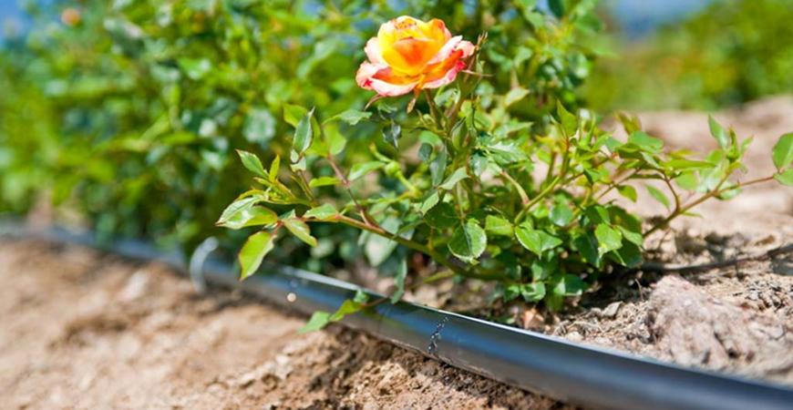 Tưới nhỏ giọt cho hoa hồng sử dụng dây tưới nhỏ giọt T-Tape