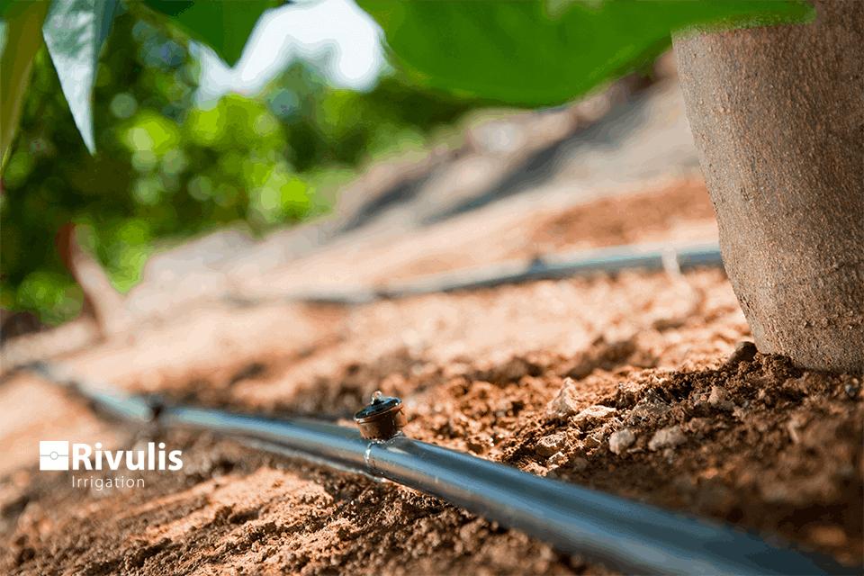 Tưới cây ăn trái hiệu quả bằng đầu nhỏ giọt và dây nhỏ giọt cuốn quanh gốc