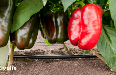 trồng ớt trong nhà màng sử dụng dây tưới nhỏ giọt t-tape