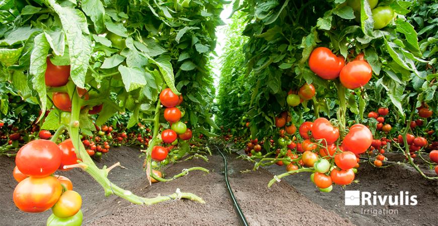 kỹ thuật trồng và chăm sóc cà chua