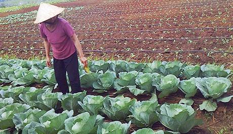 sử dụng rải dọc luống để tưới cho cây cải bắp