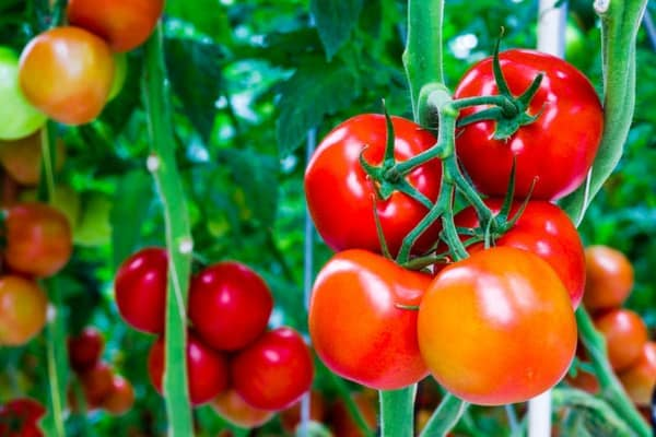 kỹ thuật trồng cà chua sai trĩu quả, căng mọng nước