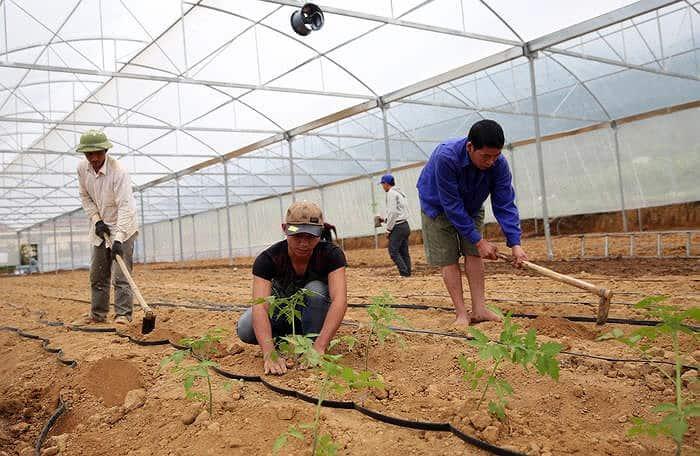lên luống, làm đất chăm sóc cây cà chua