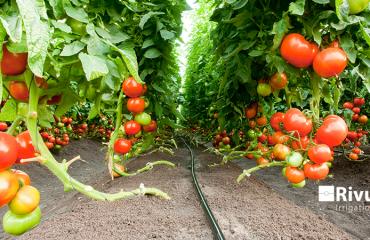 Chăm sóc cây cà chua trong nhà màng