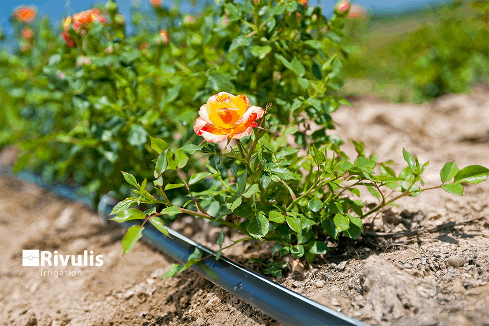 phương pháp tưới nhỏ giọt hiệu quả cho hoa hồng