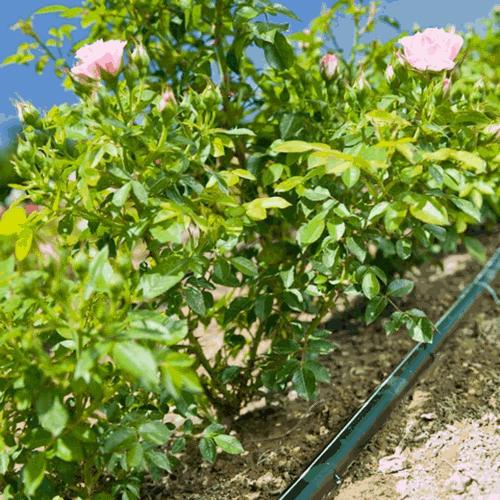 chăm sóc hoa hồng đúng cách