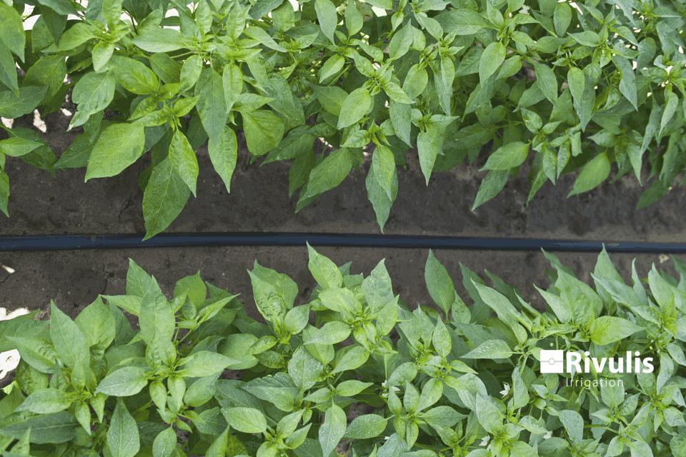 Tưới ớt bằng dây tưới nhỏ giọt rải dọc luống d5000 có bù áp