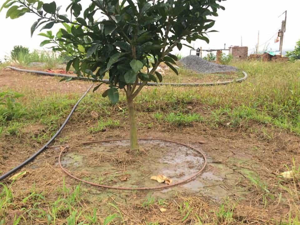 Tưới nhỏ giọt cuốn quanh gốc cho cây cam