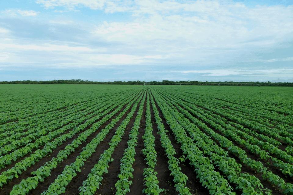 Mô hình trồng cây thuốc lá