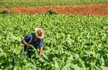 Cách trồng cây thuốc lá