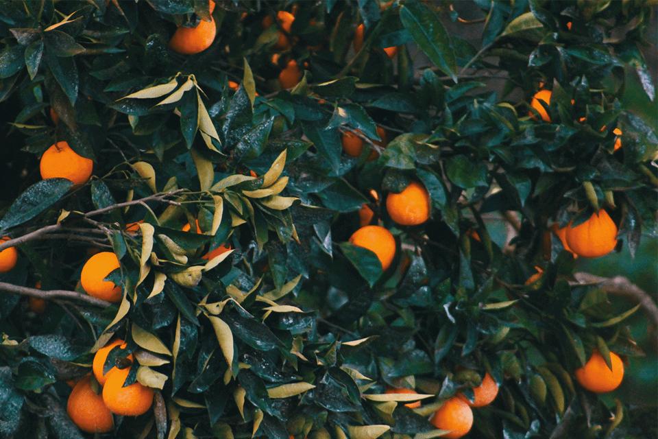 Chi phí lắp đặt hệ thống tưới phun mưa cục bộ cho cây cam