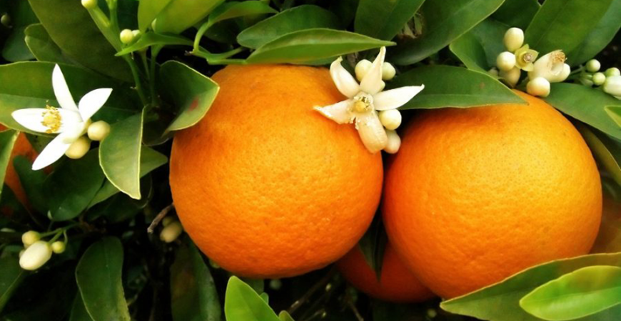tưới phun mưa cục bộ cho cây cam