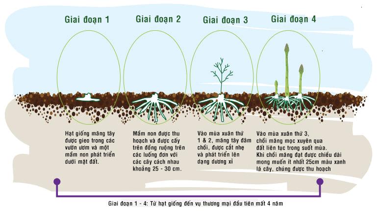 chu kì phát triển của cây măng tây