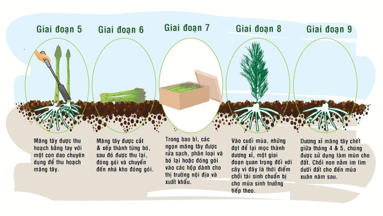 tìm hiểu chu kì phát triển của cây măng tây