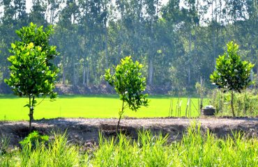 Nông dân trồng mít thái ồ ạt trên đất ruộng