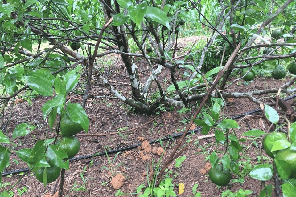 tưới nước cho cây có múi
