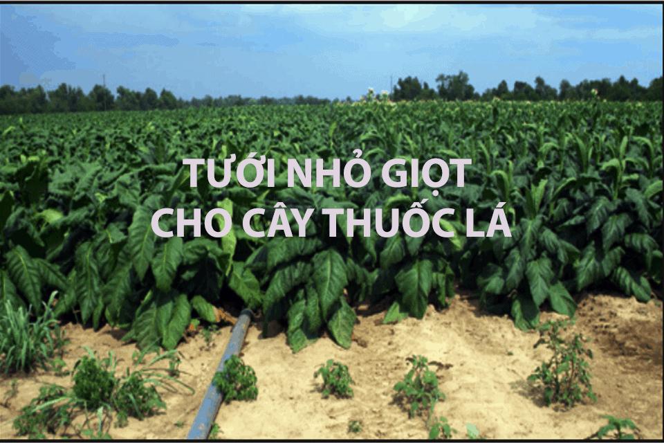 Hệ thống tưới nhỏ giọt cho cây thuốc lá