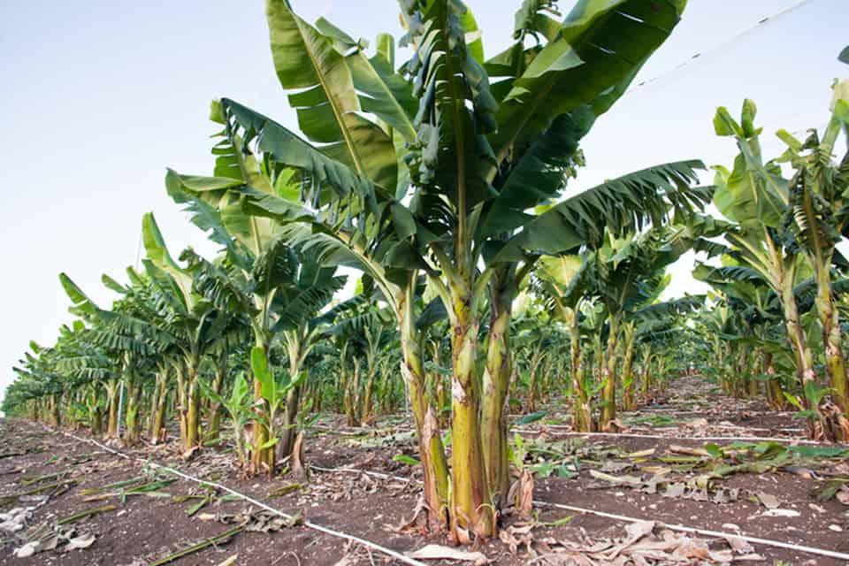 Tối đa hóa lợi nhuận cho cây chuối