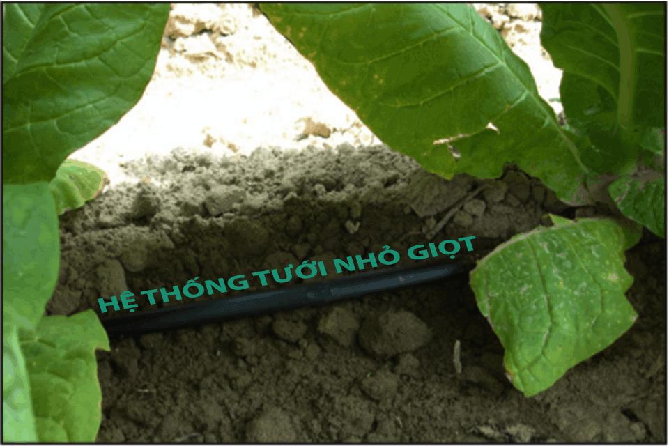 Hệt hống tưới nhỏ giọt cho cây thuốc lá