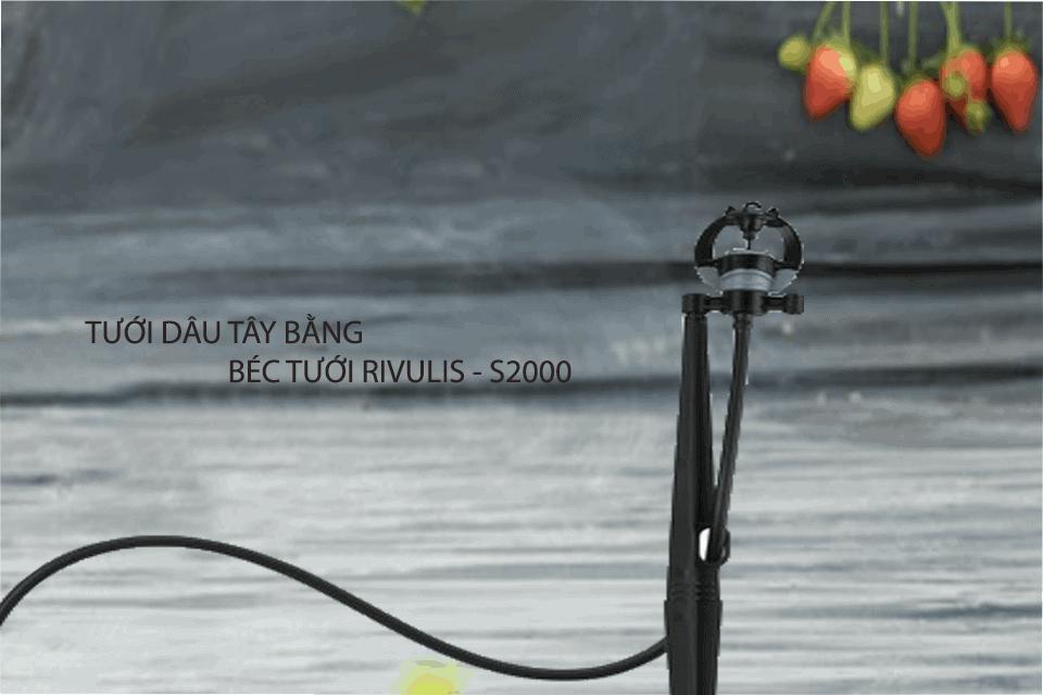 Tưới dâu tây bằng phương pháp tưới phun mưa cục bộ