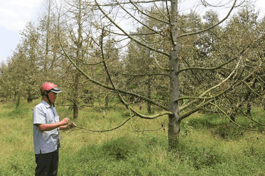Nhiều vườn sầu riêng ở Tiền Giang xác xơ, rụng lá vì hạn mặn kéo dài